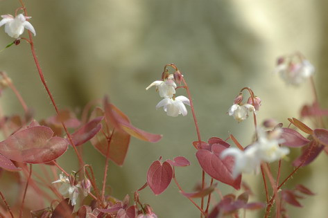 Epimedium young. Purple Heart